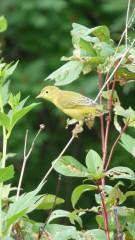 paruline,oiseaux Quebec
